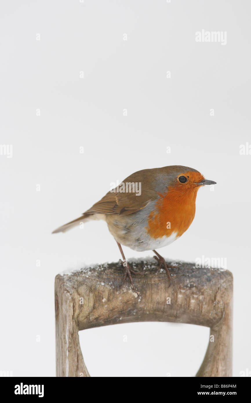 ROBIN Erithacus rubecula PERCHING ON FORK HANDLE IN SNOW - Stock Image