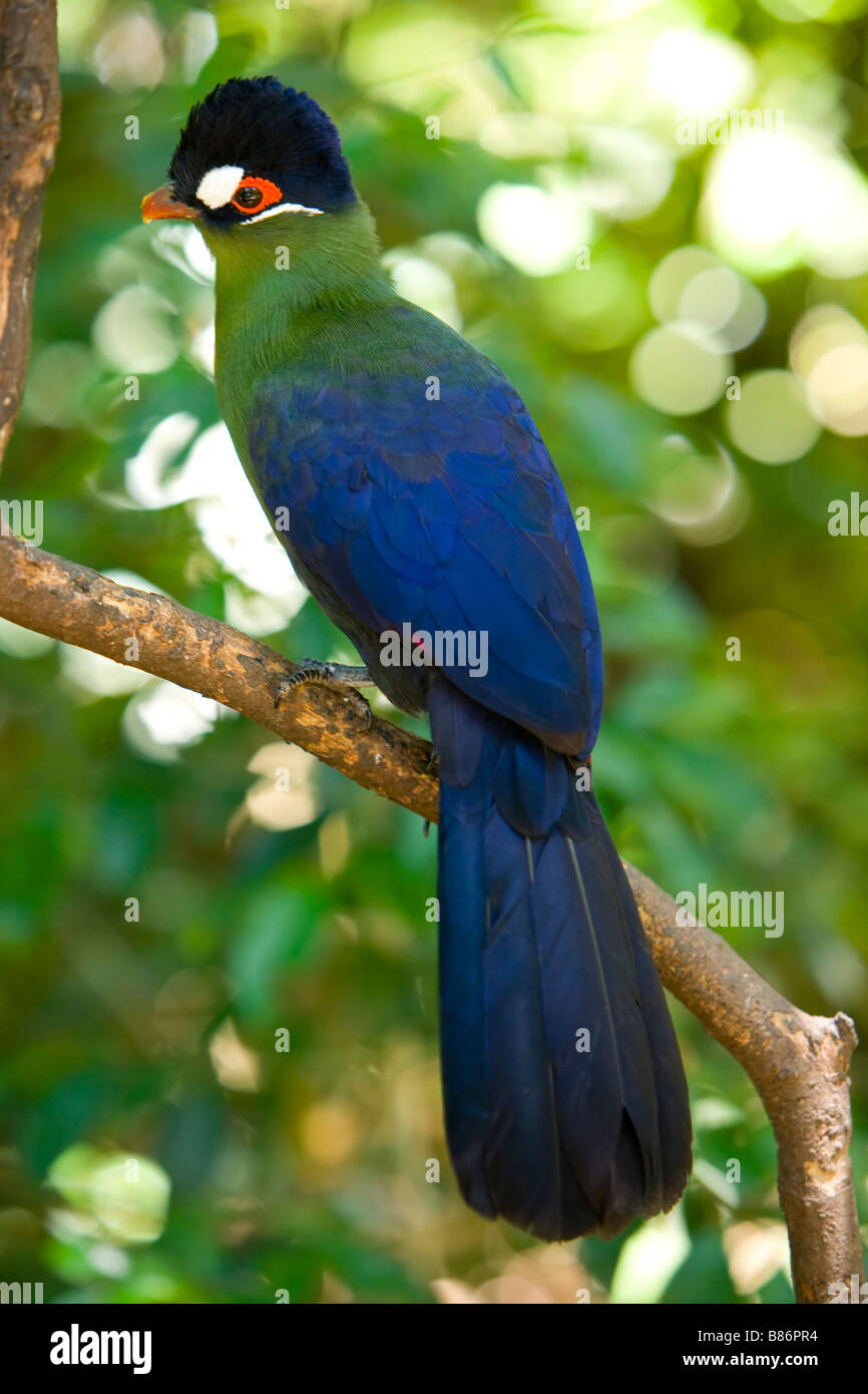 Purple Crested Laurie or ( Tauraco Porphyreolophus ) South East Africa - Stock Image