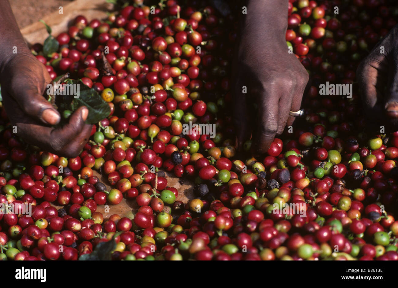 Sorting arabica coffee cherries after harvest before pulping to extract beans - Stock Image