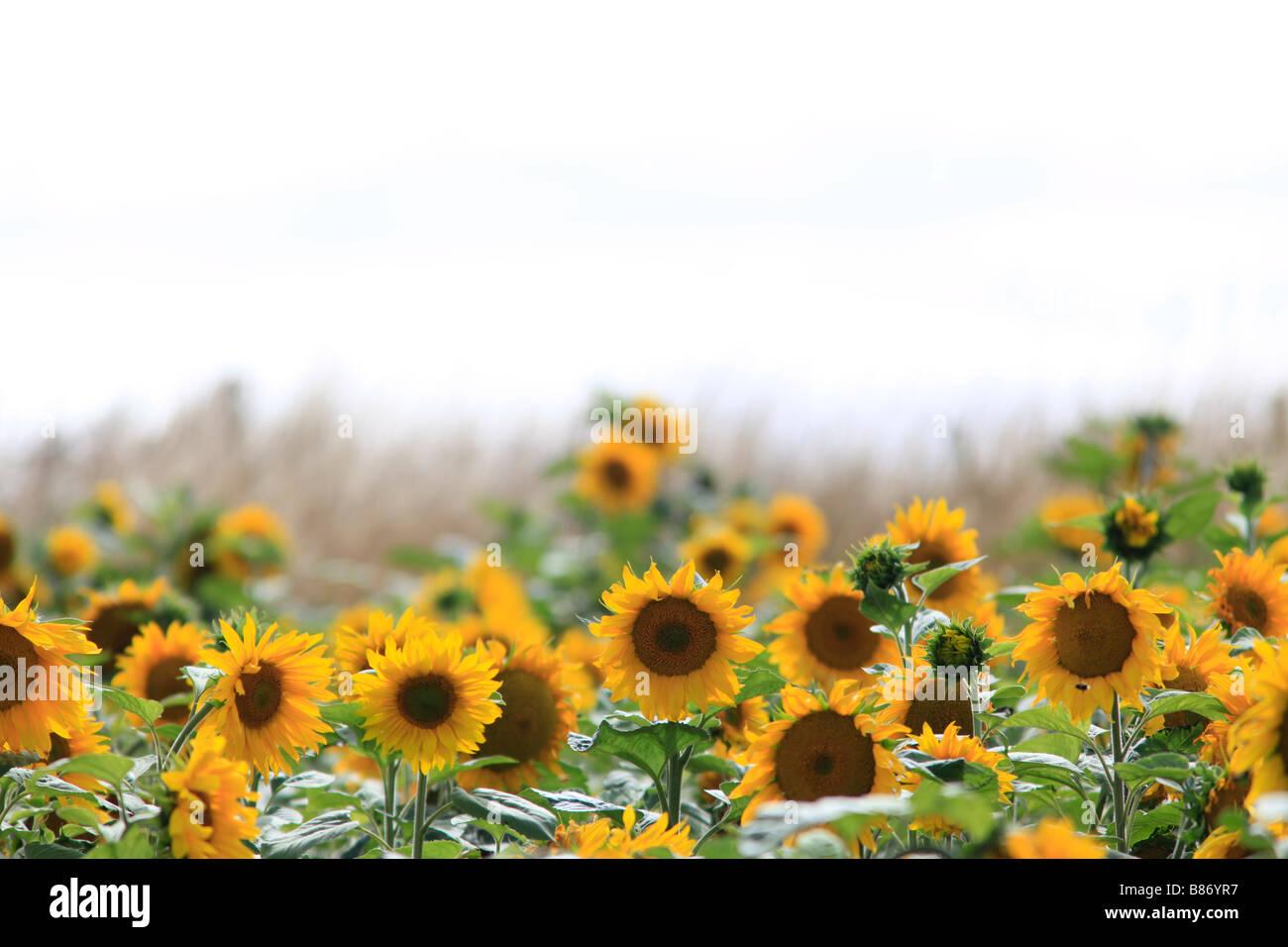 Sunflower heads in field,Oamaru, North Otago, South Island, New Zealand - Stock Image