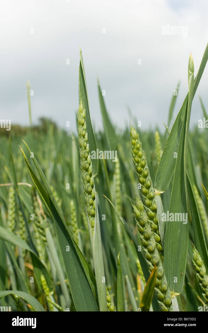 Close up view of young wheat in a field in the english countryside - Stock Image