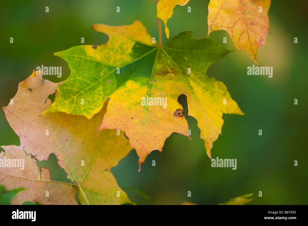 Leaf Changing Colors Stock Photos & Leaf Changing Colors Stock ...