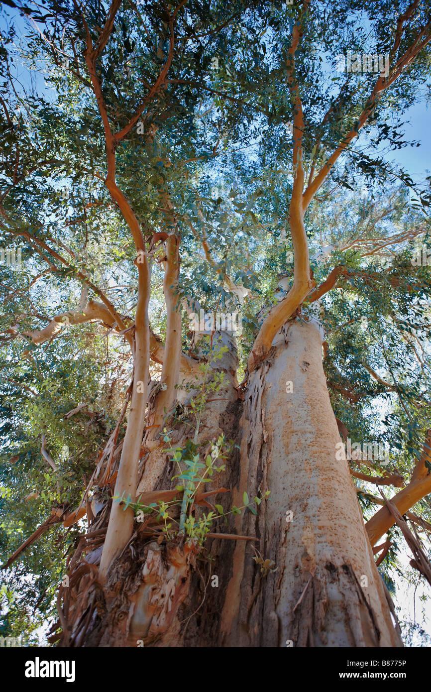 Tasmanian blue gum tree growing in Los Angeles County Arboretum and Botanic Garden. Scientific name: Eucalyptus - Stock Image