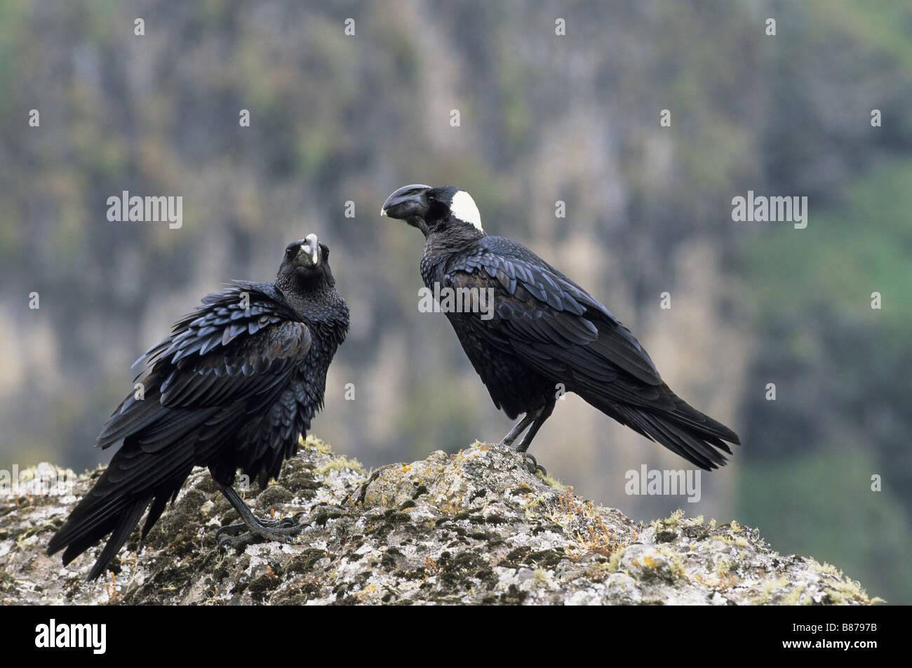 two thick-billed ravens / Corvus crassirostris - Stock Image
