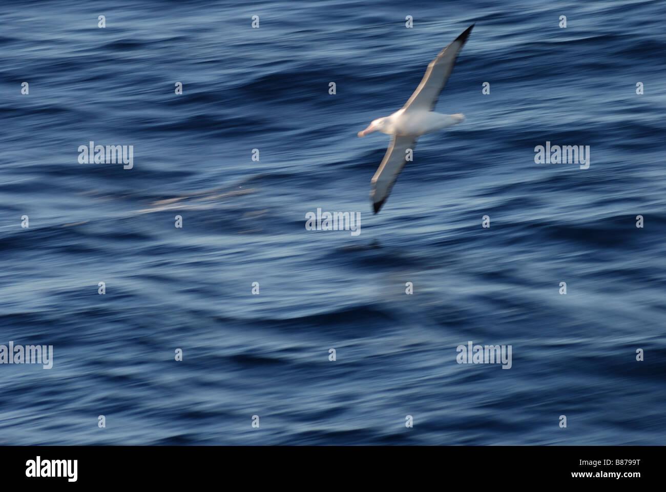 Wandering Albatross Diomedea exulans Drake Passage Antarctica - Stock Image