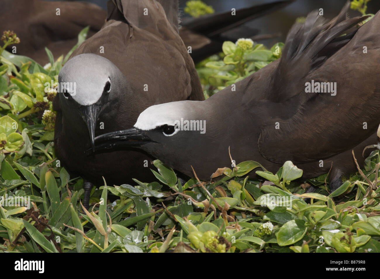common noddy two adults touching beaks - Stock Image