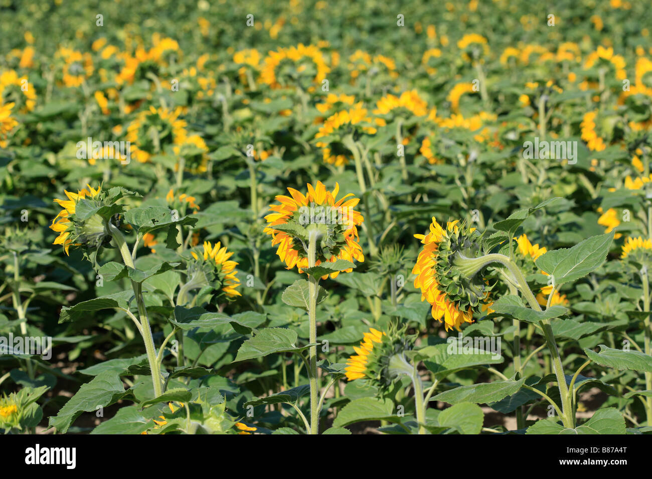 Close up of sunflower head in field - Stock Image