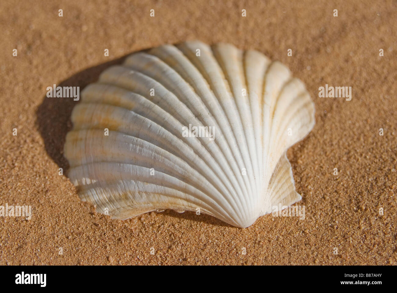 Scallop Shell Stock Photos Scallop Shell Stock Images Alamy