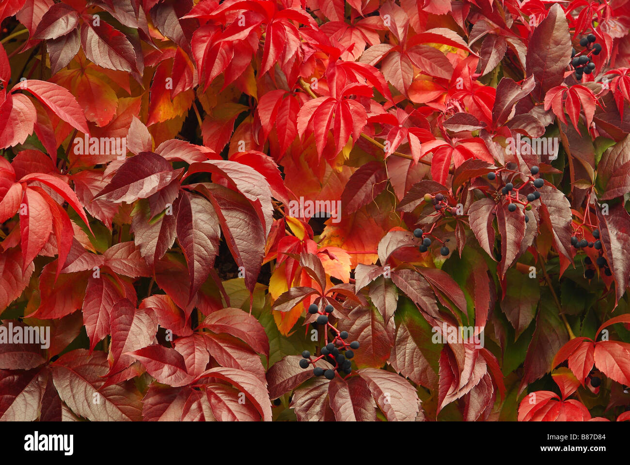 Wilder Wein Virginia creeper 15 Stock Photo