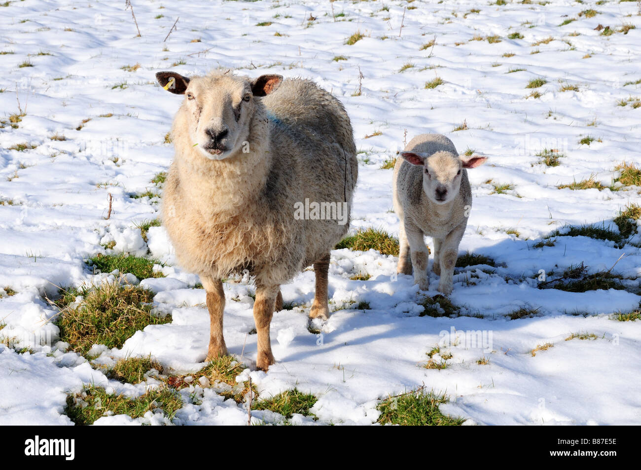 Ewe and lamb in snow  Black Mountain Carmarthenshire Wales - Stock Image