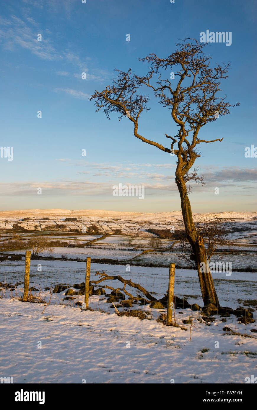 Hawthorn tree in late afternoon sunlight Carnalbanagh, Antrim Plateau. - Stock Image