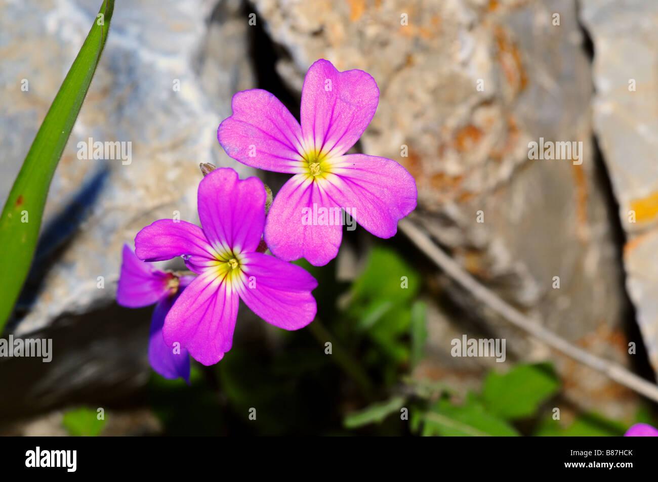 Flowers Pink Wildflowers Greece Stock Photos Flowers Pink