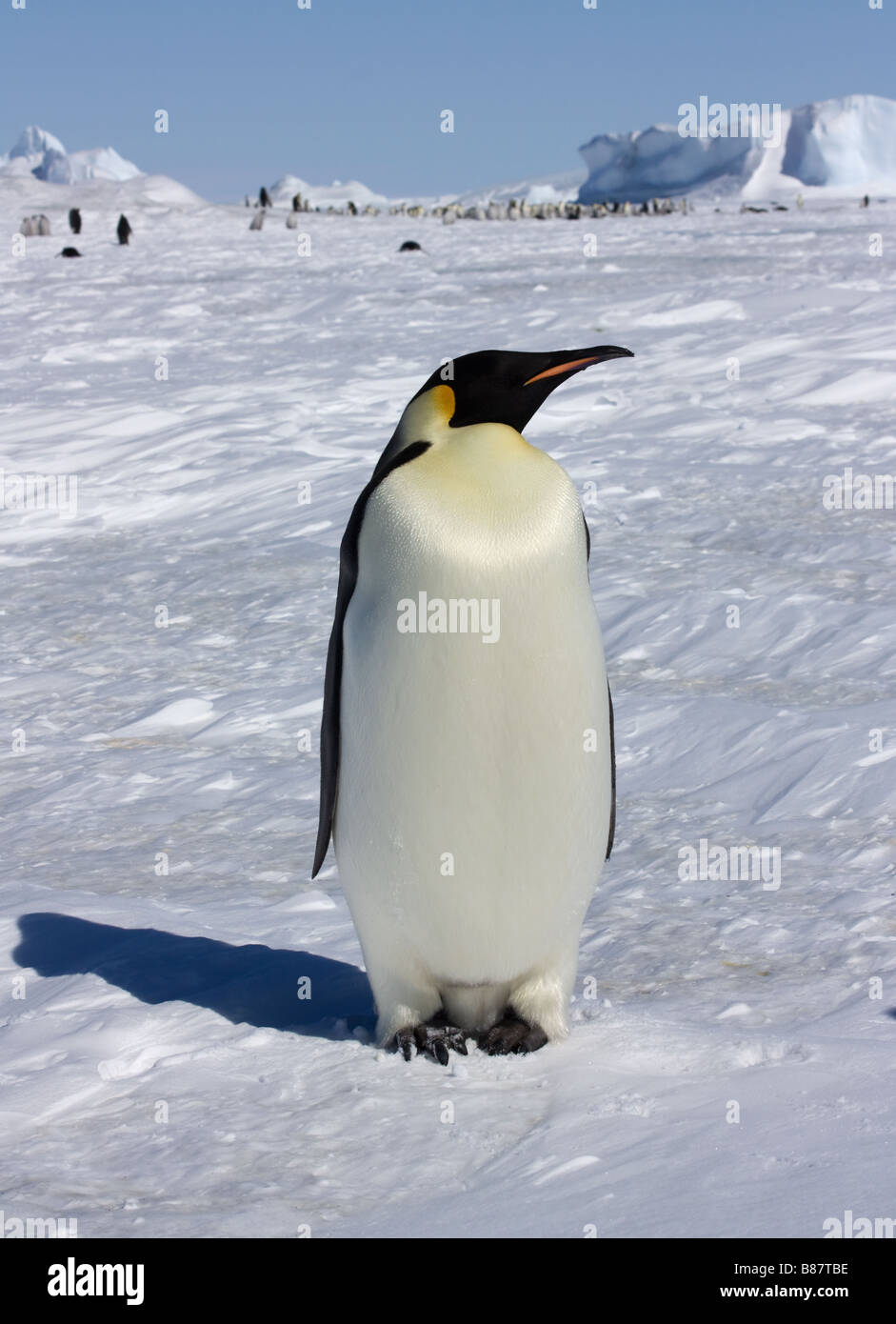 Emperor penguin en route to rookery at Snow Hill Island, Antarctica - Stock Image