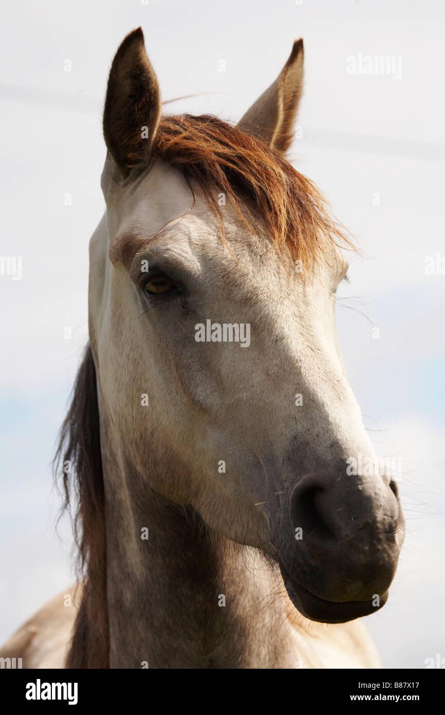 Portrait of a stallion. - Stock Image