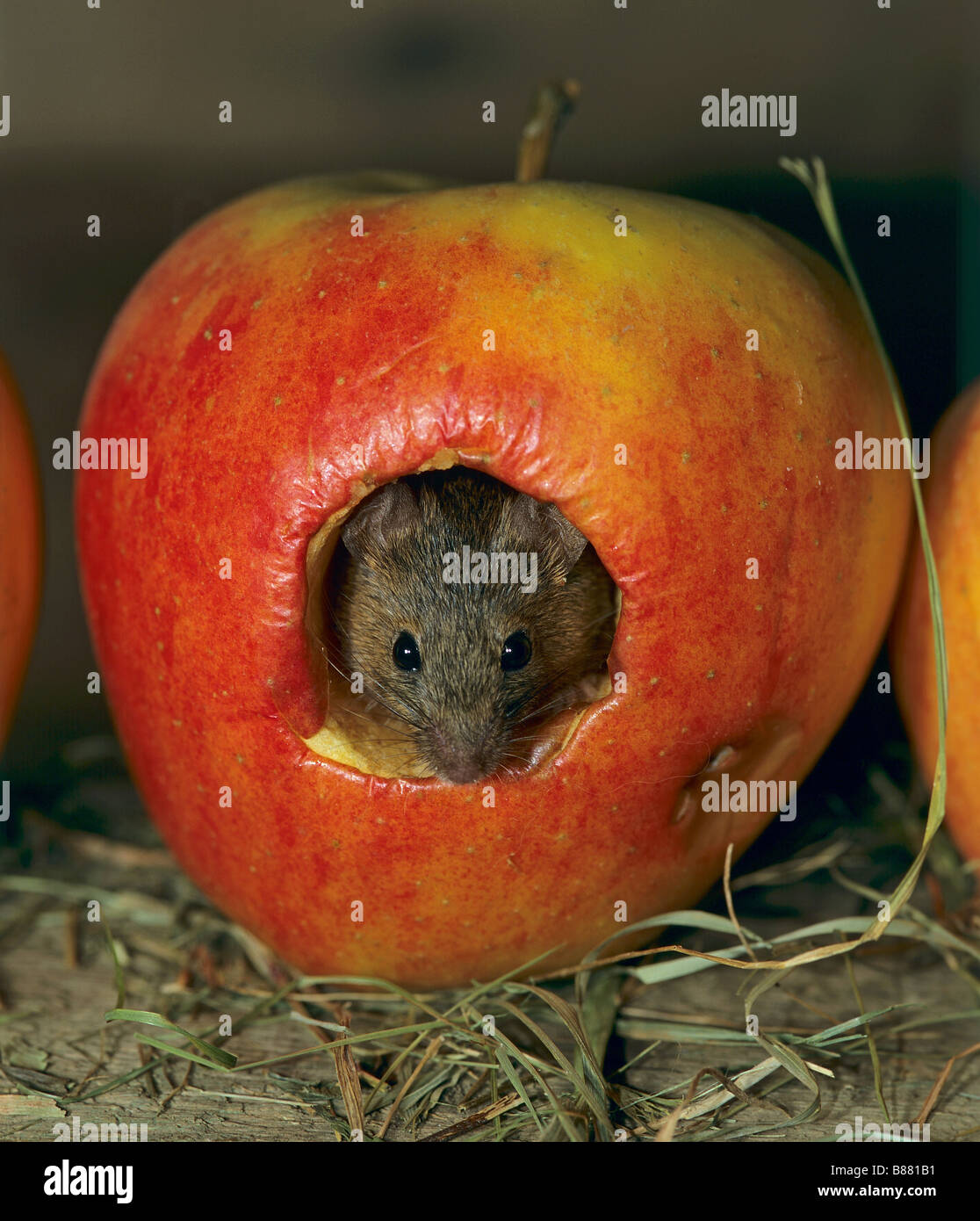 House Mouse in apple / Mus musculus Stock Photo