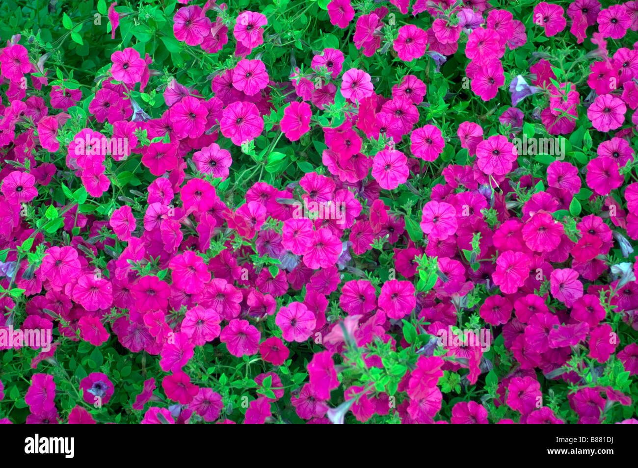 Purple pink colored flowers ground cover flora stock photo 22304398 purple pink colored flowers ground cover flora mightylinksfo