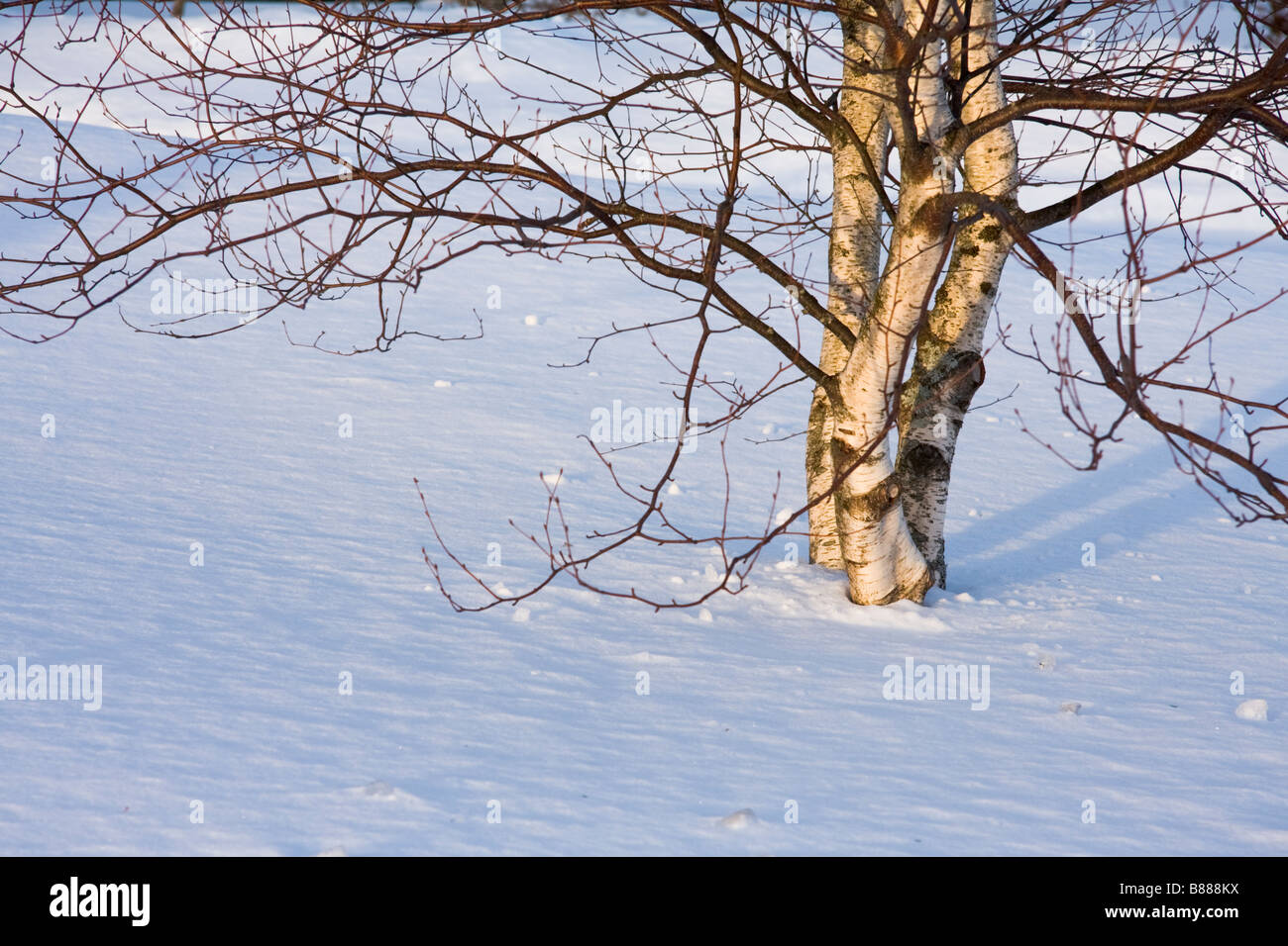 Small birch trees in winter lit by setting sun - Stock Image