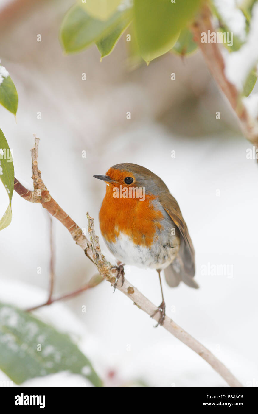 ROBIN Erithacus rubecula PERCHING ON SNOW COVERED RHODODENDRON - Stock Image
