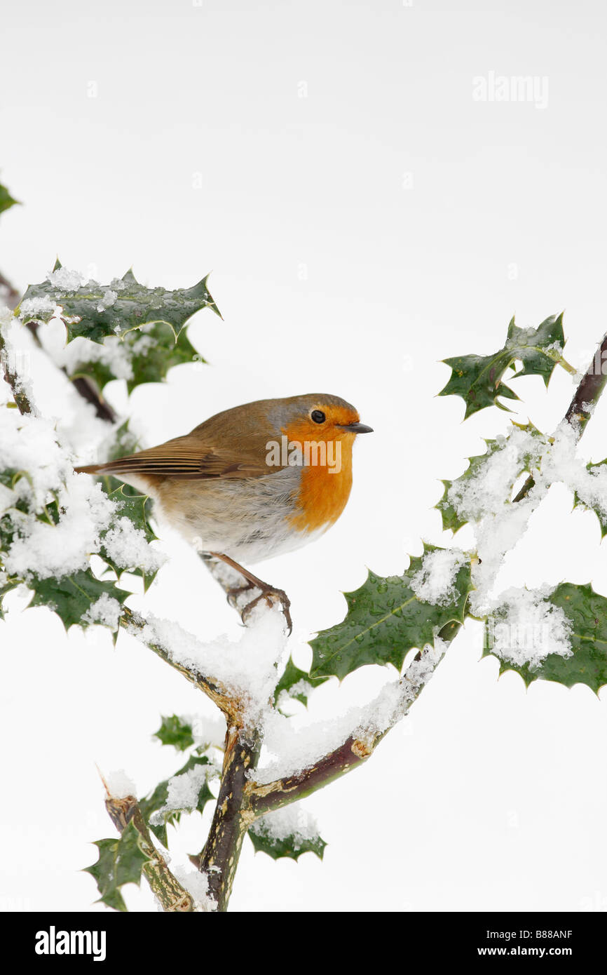 ROBIN Erithacus rubecula PERCHING IN SNOW COVERED HOLLY - Stock Image