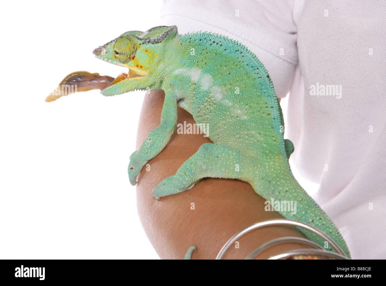 chameleon lizard studio portrait - Stock Image