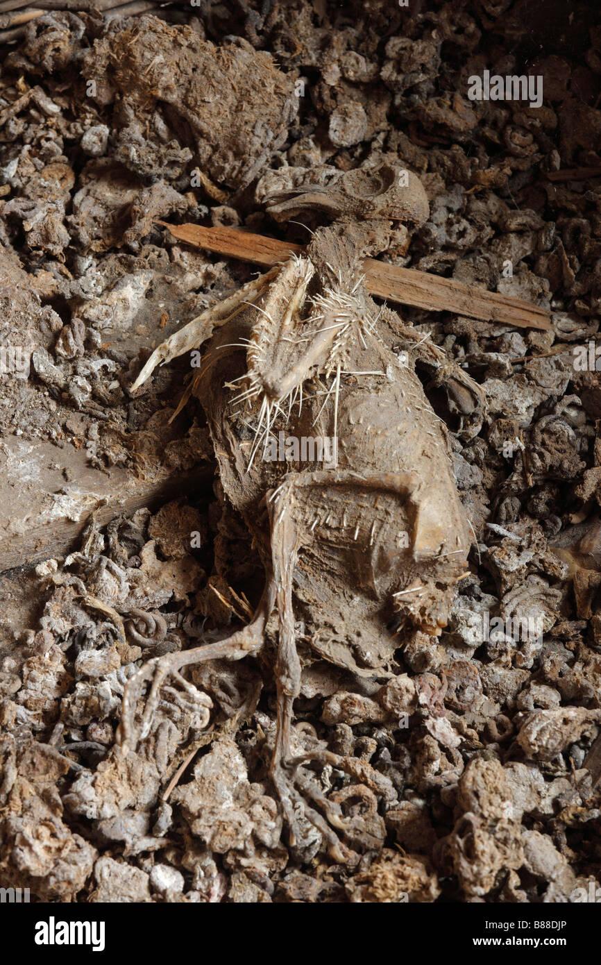Toter Vogel, halbverwest auf Fledermauskot, Verwesung, Ekel, Ekelhaft, Tod, Kot, Dachboden, Alt, Dreck, - Stock Image