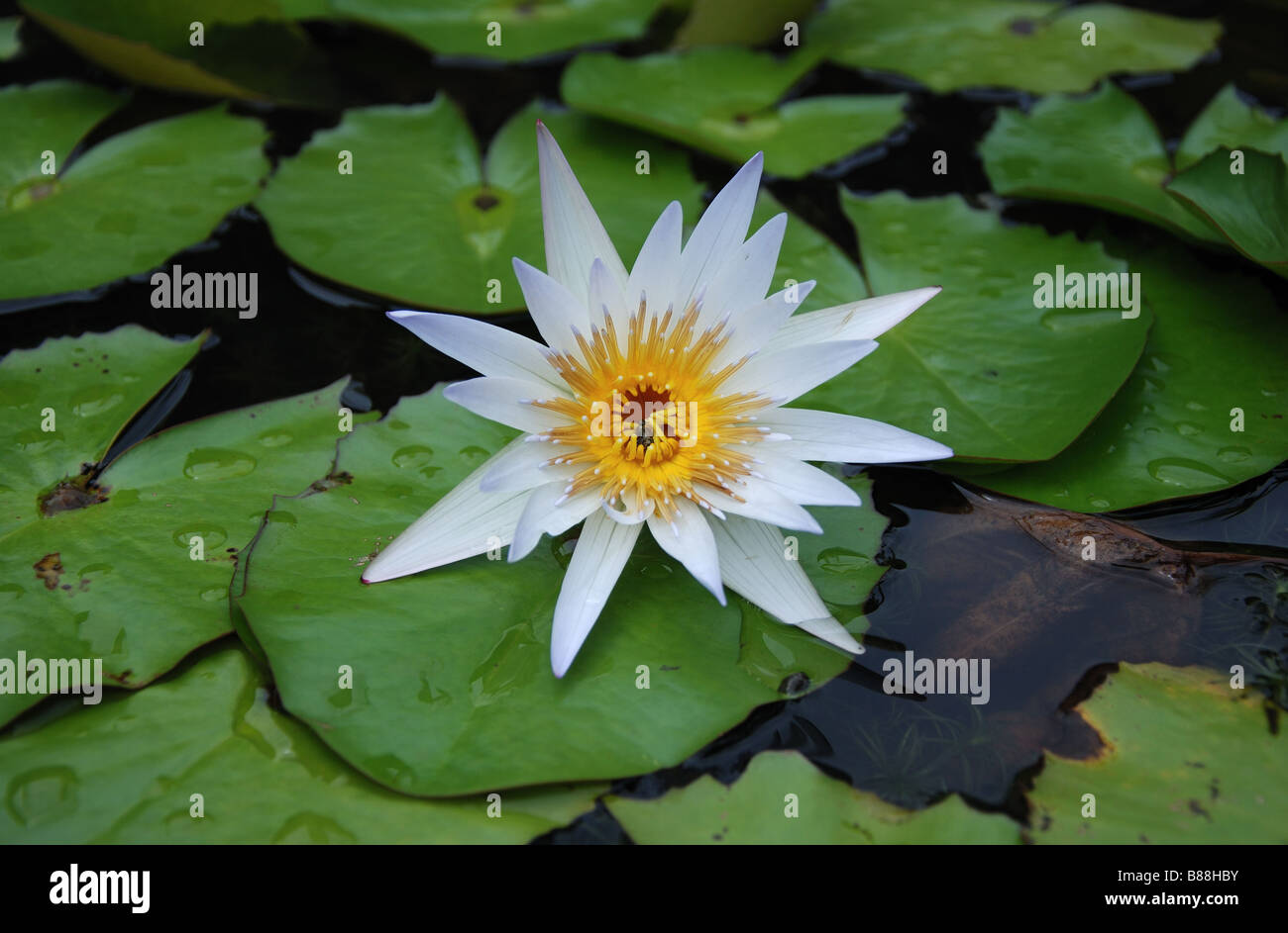 Water Lily Flower - Stock Image