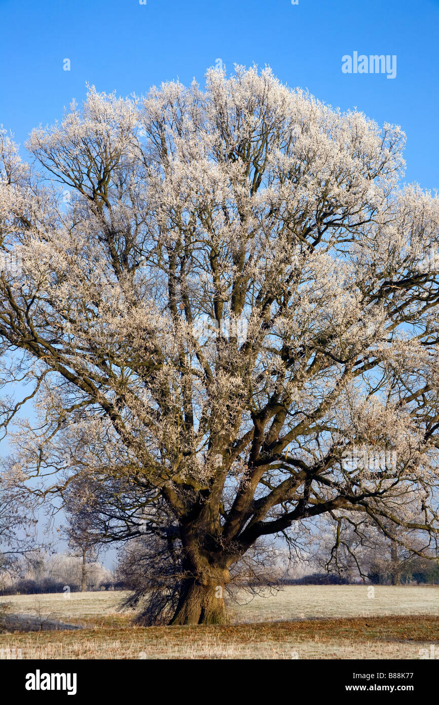 Frosted oak tree in winter frost Goudhurst Kent UK - Stock Image