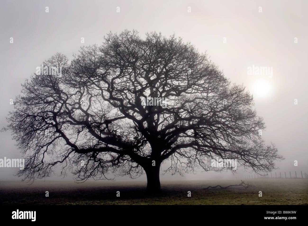 Oak tree in thick fog near Sandhurst Kent UK - Stock Image