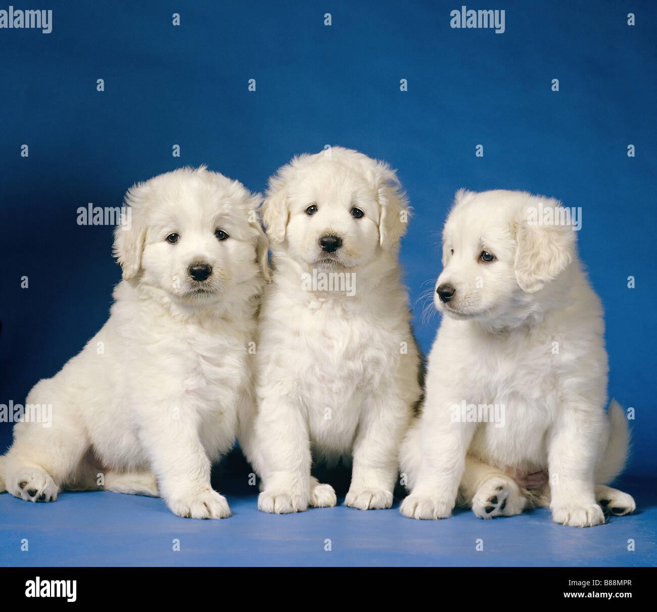Three Kuvasz Puppies Stock Photo 22319551 Alamy