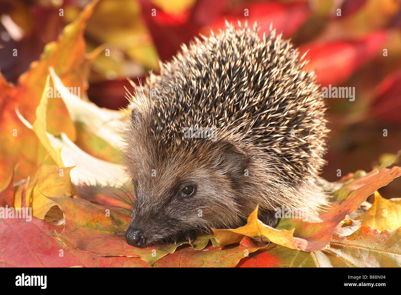 European Hedgehog (Erinaceus europaeus) in autumn leaves - Stock Image