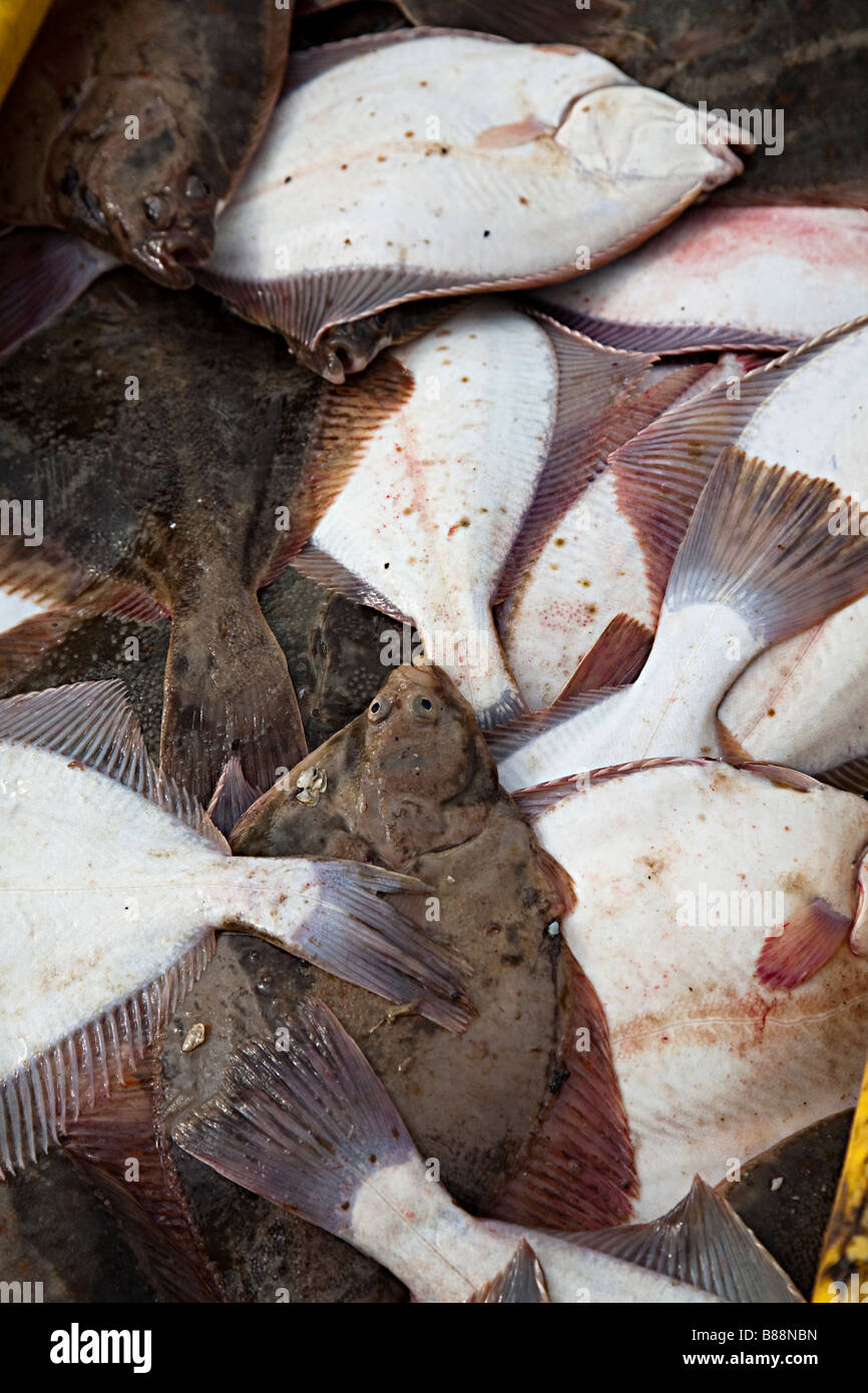 Flatfish caught in the Baltic Sea Leba Poland - Stock Image