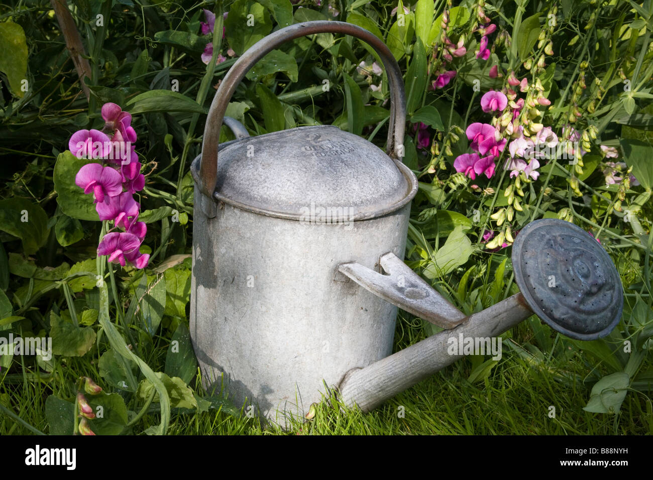 Galvanized watering can amidst sweet peas in a Surrey garden, Surrey, England. - Stock Image