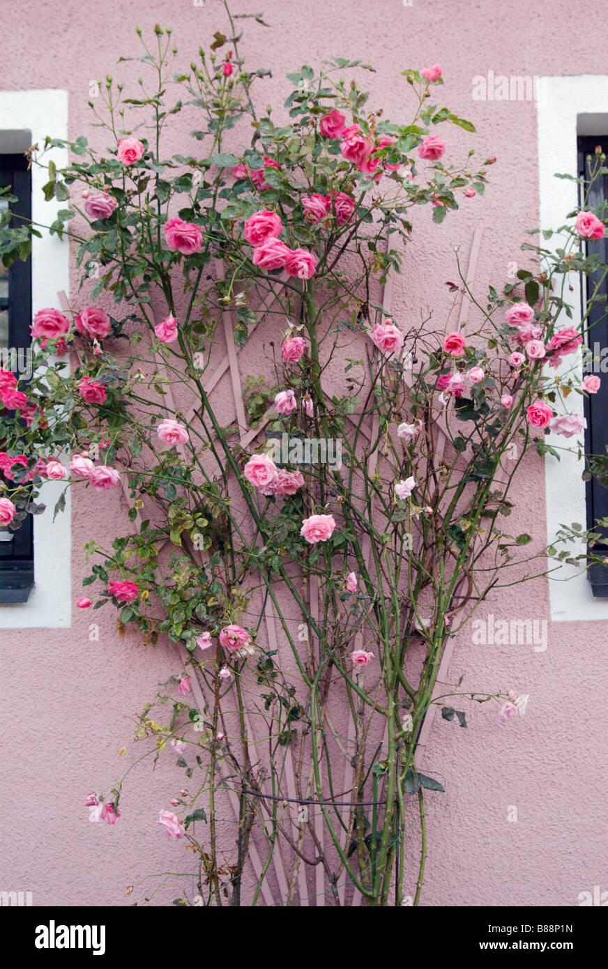Pink roses climbing a pink wall, Ystad, Sweden - Stock Image