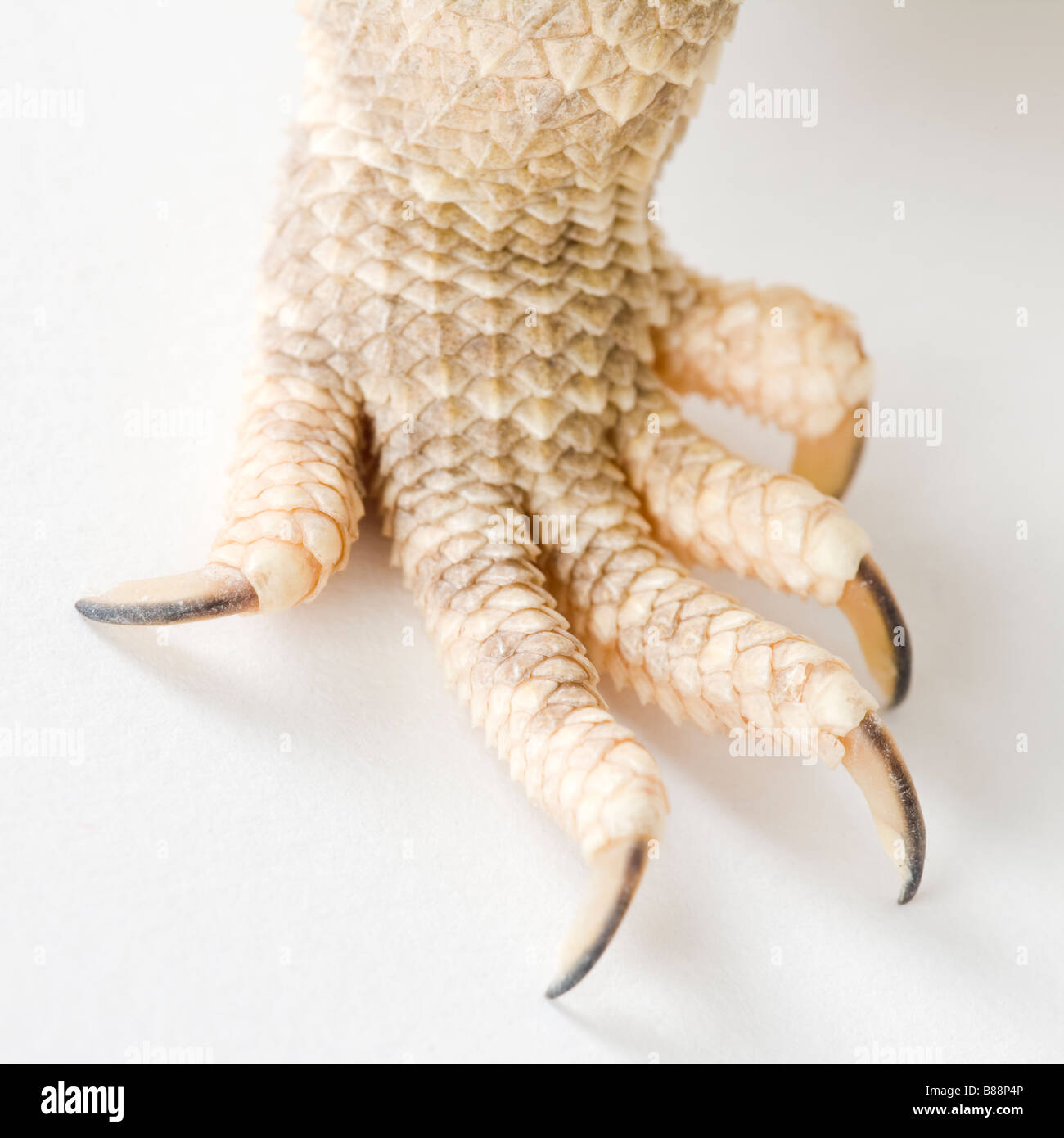 claw of a reptile - Stock Image