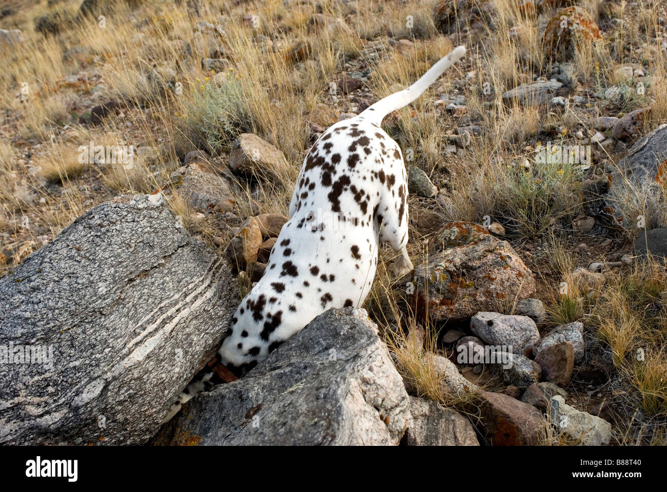 Dalmatian hunting. - Stock Image