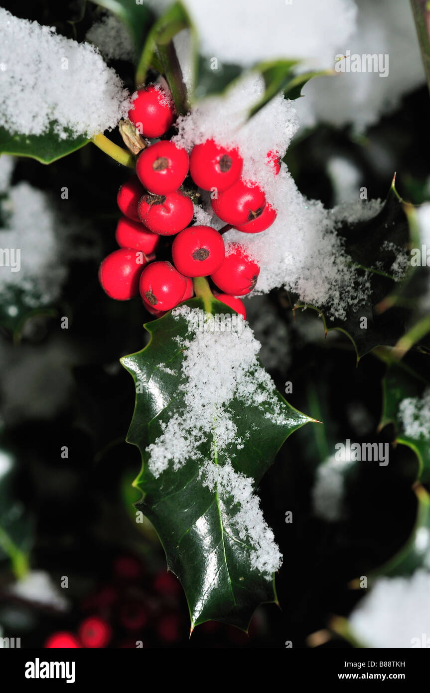 red holly berries snow - Stock Image