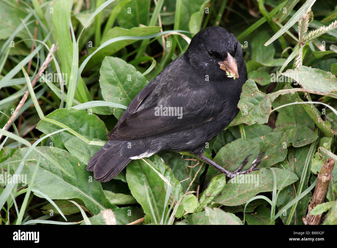 Darwin ground finch, Geospiza, with mouthful of seed at Puerto Ayora Highlands, Santa Cruz Island, Galapagos Islands, - Stock Image