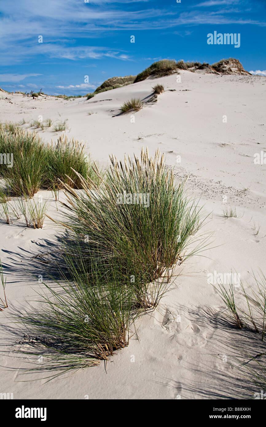 Marram grass Ammophilia arenaria stabilising sand dunes Lacka Gora dunes Slowinski national park Leba Poland - Stock Image