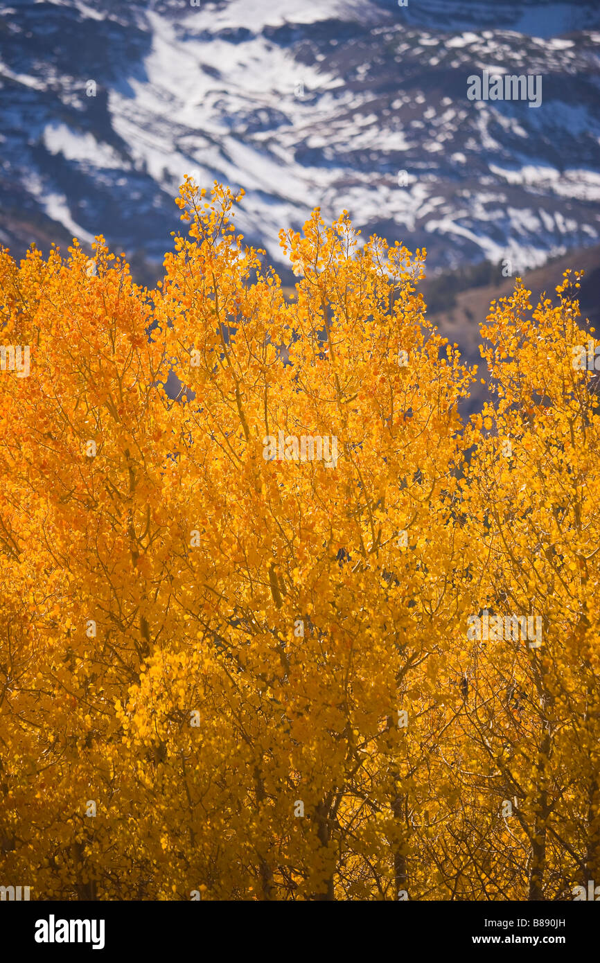 aspen (Populus tremuloides) trees in fall colors Sonora Pass Sierra Nevada Mountains California United States of - Stock Image