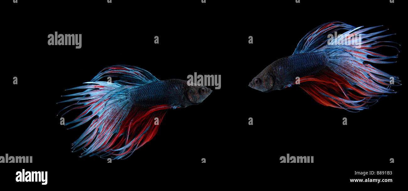 Two siamese fighting fish (betta splendens) on black background - Stock Image