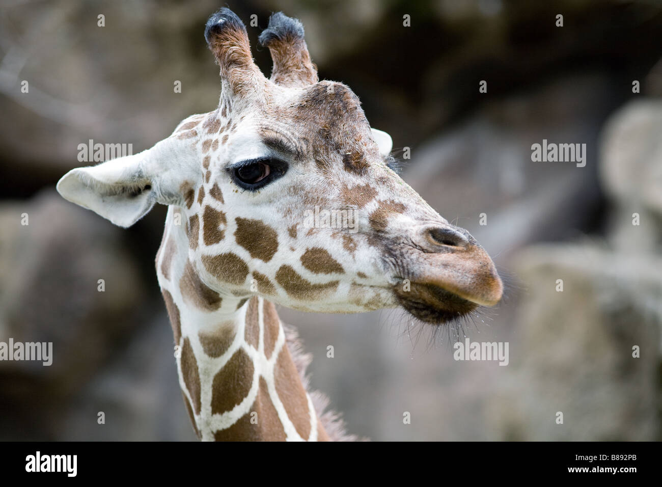 Portrait of a giraffe - Stock Image