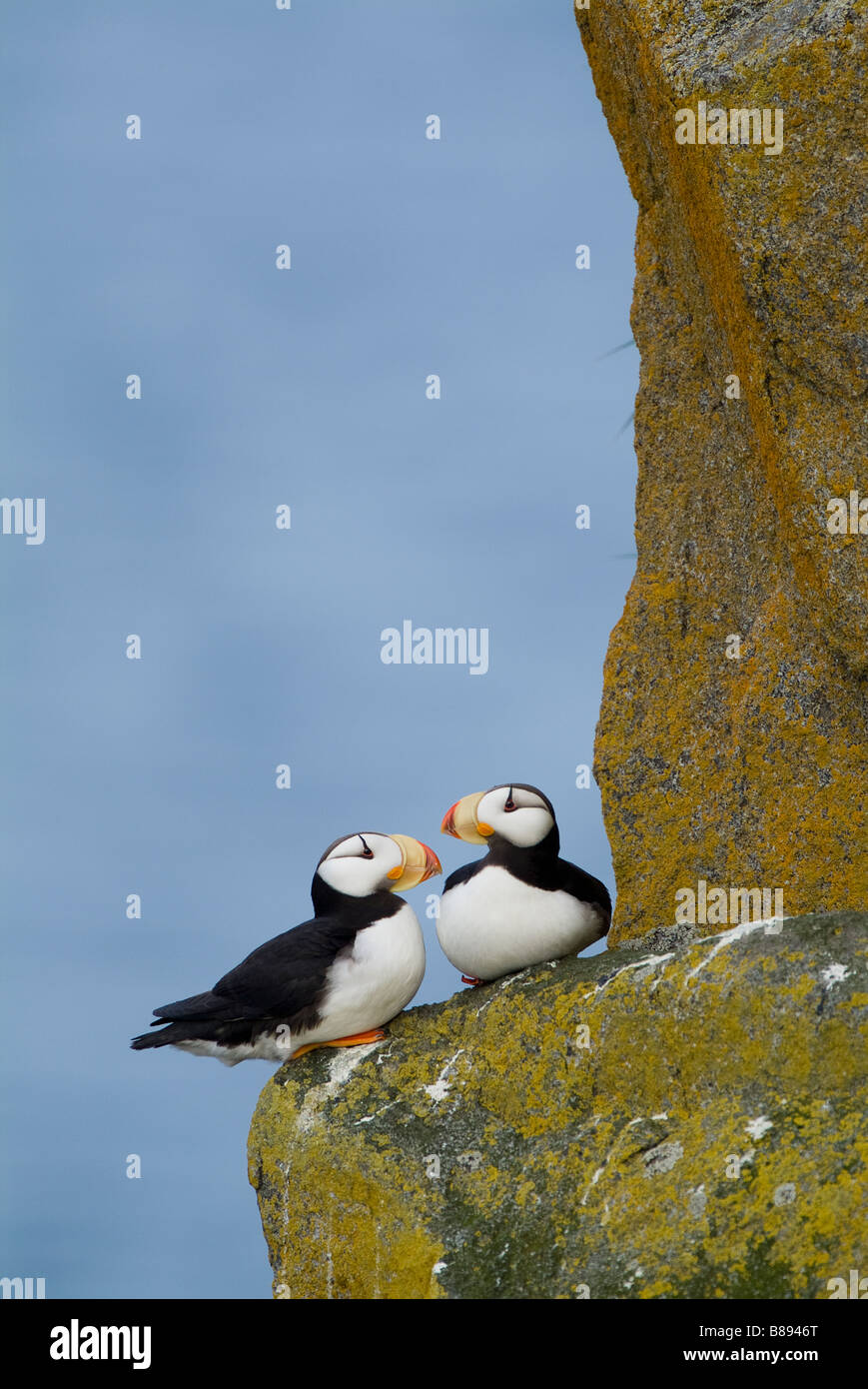 Horned Puffins Fratercula corniculata walrus islands state game sanctuary Round Island Alaska Stock Photo