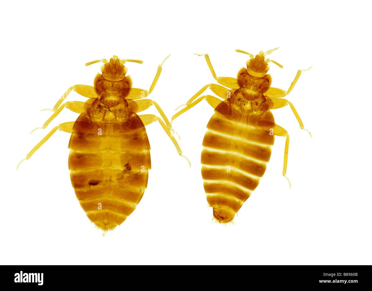 Bed Bug Cimex Lectularius Male And Female On White Background