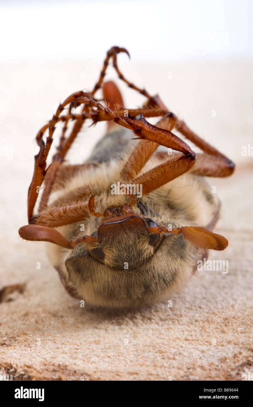 Alive maybug fallen on his back upside down Stock Photo
