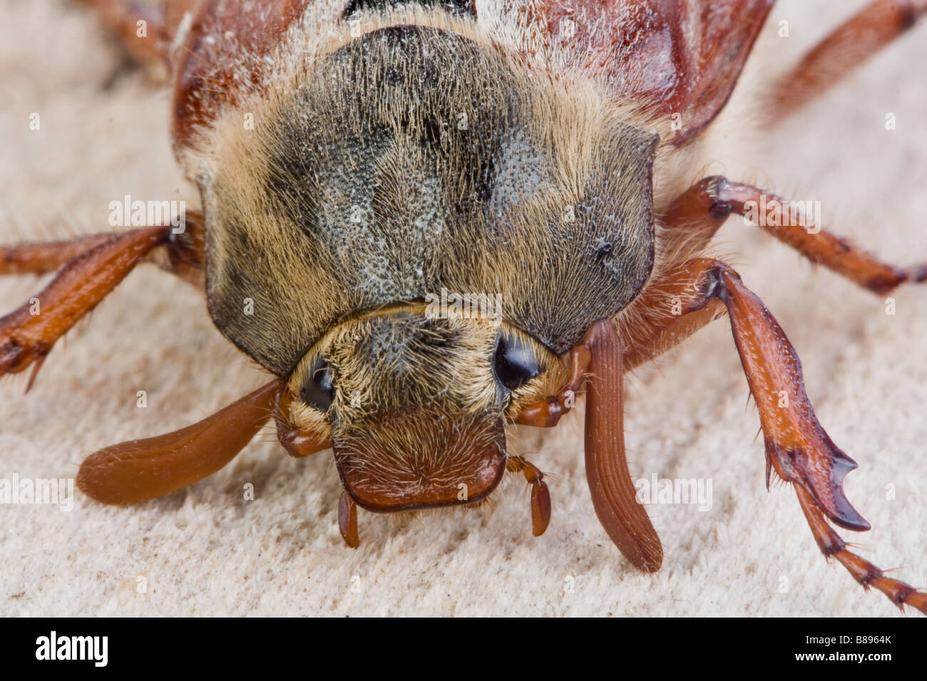 Extreme closeup of the face of a maybug beetle Stock Photo