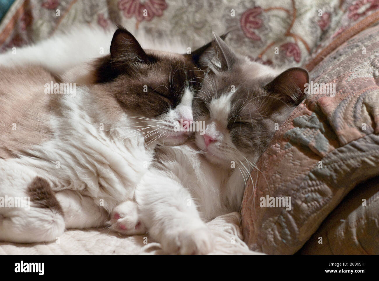 Two young Ragdoll cats sleeping together cheek to cheek - Stock Image