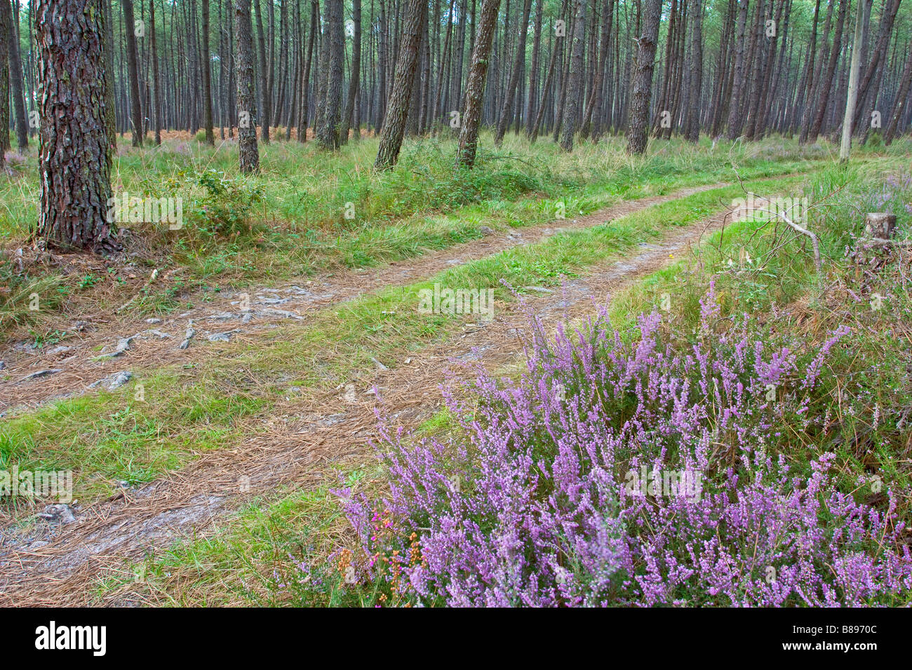 Pink heather flowers in a pine tree forest stock photo 22330684 alamy pink heather flowers in a pine tree forest mightylinksfo