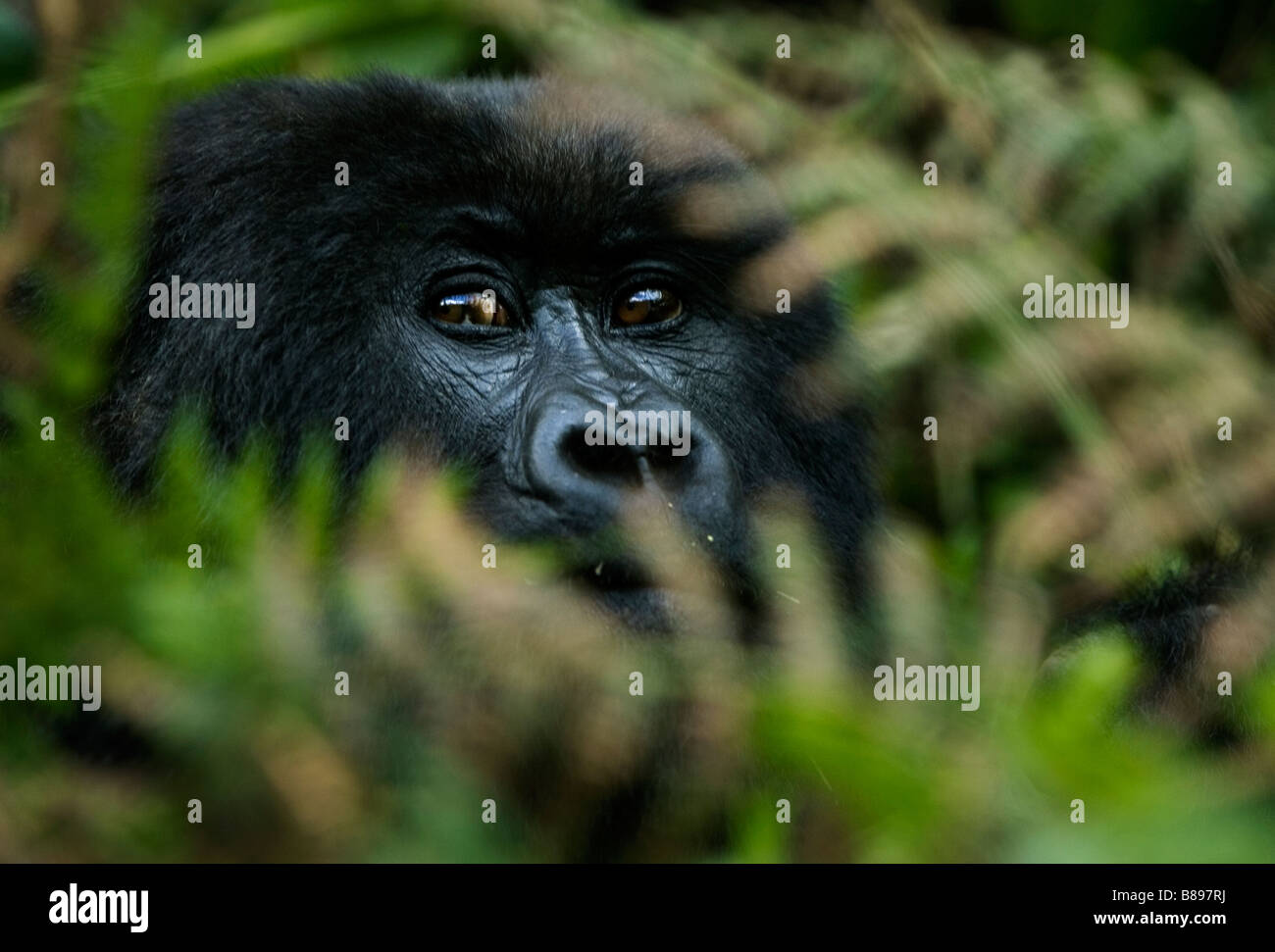 A mountain gorilla, gorilla gorilla beringei, looks through ferns and foliage in the Volcanoes National Park in - Stock Image