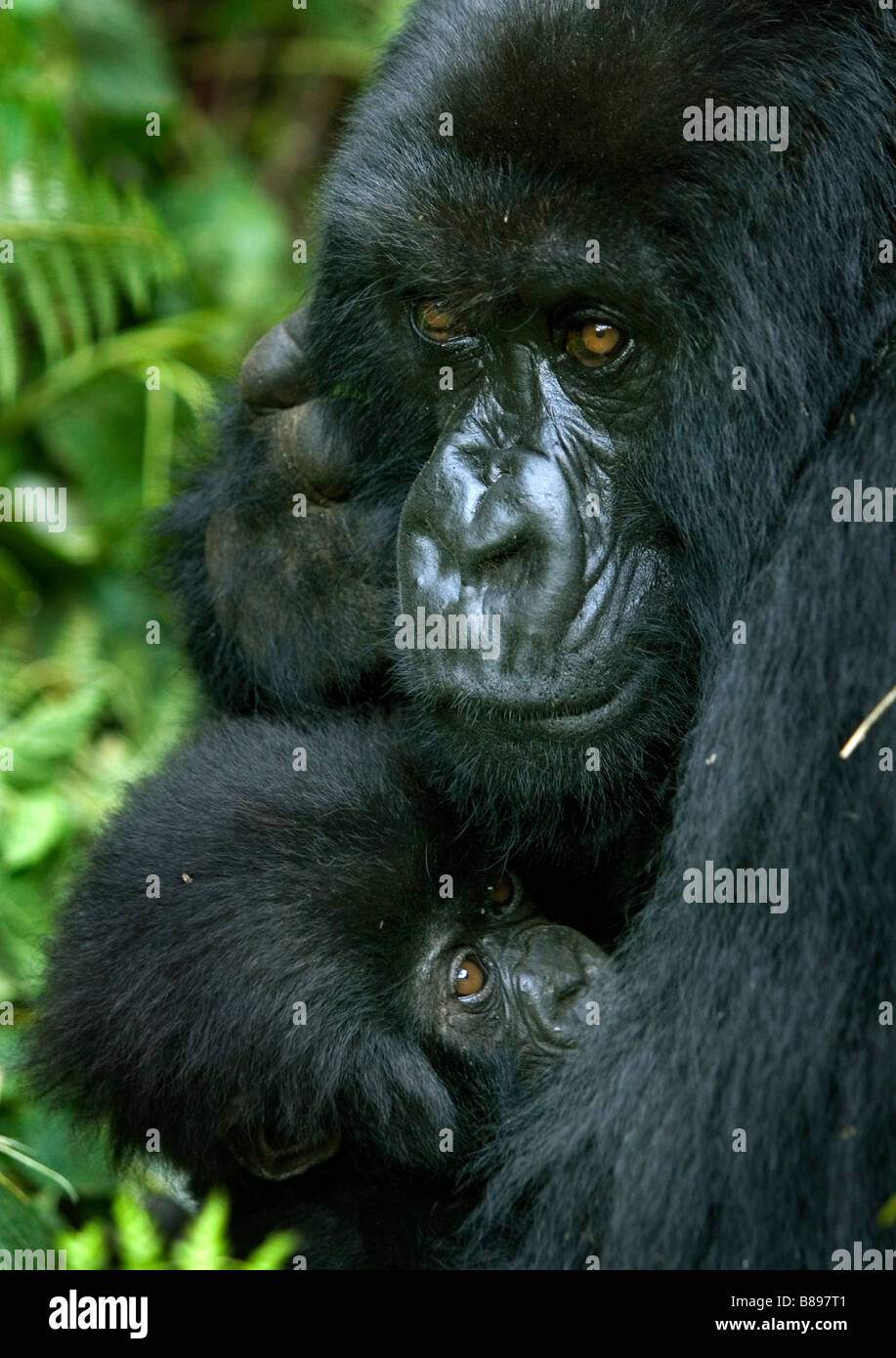 Mother feeds baby mountain gorilla gorilla gorilla beringei in the Volcanoes National Park in northwestern Rwanda - Stock Image