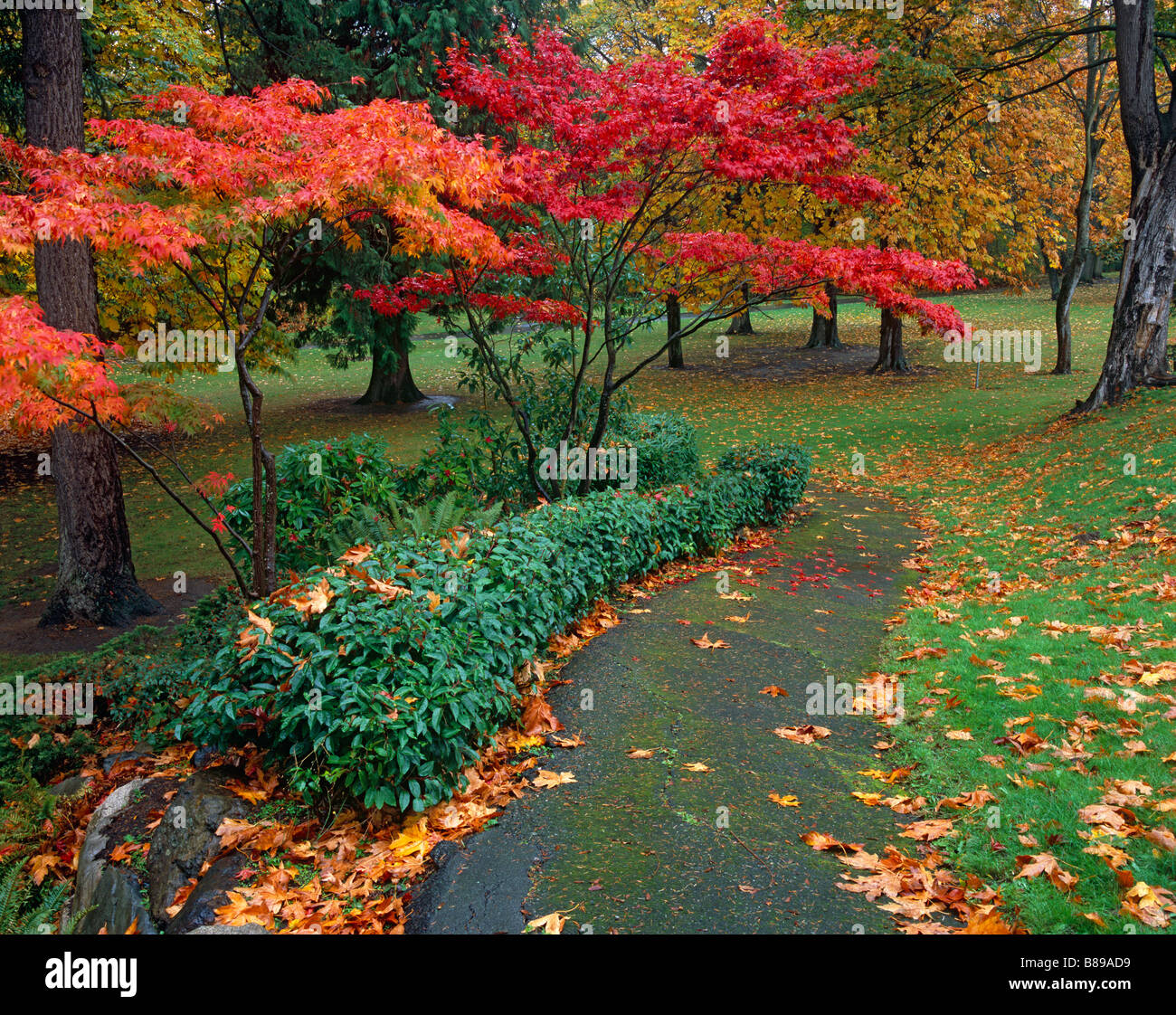 Seattle, WA: Quiet path in Magnolia Park framed with vine maples in ...